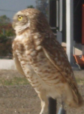 Burrowing Owl at southern perimeter of San Jose's Mineta International Airport